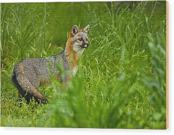 Gray Fox - 5380 Wood Print