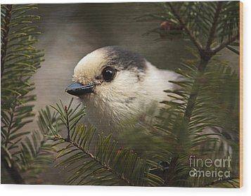 Gray Jay Playing Peek A Boo Wood Print by Inspired Nature Photography Fine Art Photography