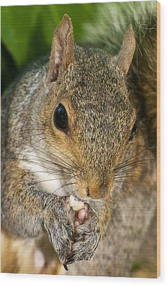 Gray Squirrel Wood Print by Fabrizio Troiani
