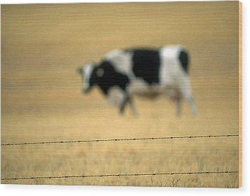 Grazing Cow, Alberta, Canada Wood Print by Ron Watts