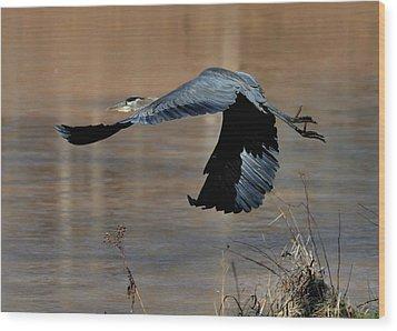 Great Blue Heron Flight - C1287g Wood Print by Paul Lyndon Phillips