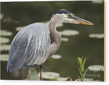 Wood Print featuring the photograph Great Blue Heron  by Jeannette Hunt