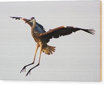 Great Blue Heron Landing Wood Print by Paulette Thomas