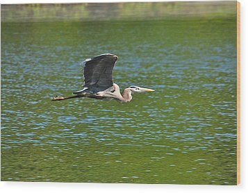 Great Blue Heron Reaching Cruise Altitude Wood Print by Mary McAvoy