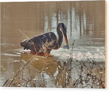 Great Blue Heron Snagging Fish - C3266h Wood Print by Paul Lyndon Phillips