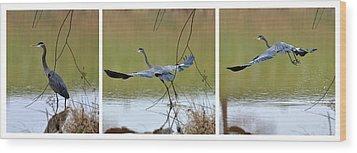 Great Blue Heron Takes Flight - T9535-7h  Wood Print by Paul Lyndon Phillips