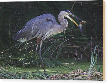 Great Blue Heron With The Catch Of The Day Wood Print by Paulette Thomas