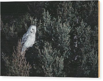 Great Gray Owl Strix Nebulosa In Blonde Wood Print by Michael Quinton