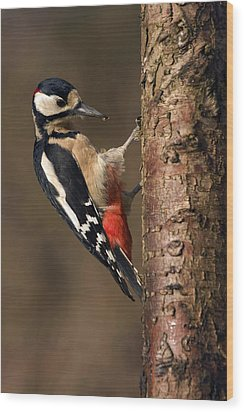 Great Spotted Woodpecker Wood Print by Paul Scoullar