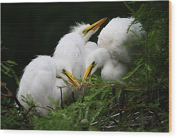 Great White Egret Babies In The Nest Wood Print by Paulette Thomas