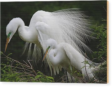 Great White Egret Mates Wood Print by Paulette Thomas