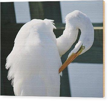 Great White Egret Preening Wood Print by Paulette Thomas