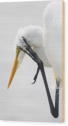 Great White Egret With A Itch Wood Print by Paulette Thomas