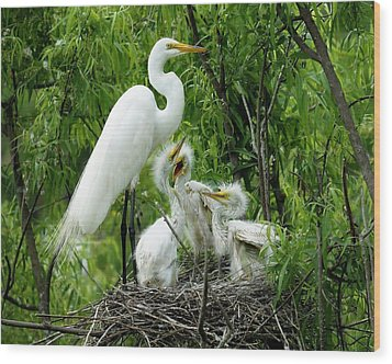 Great White Egret With Babies Wood Print by Paulette Thomas