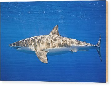 Great White Shark Carcharodon Carcharias Wood Print by Carson Ganci