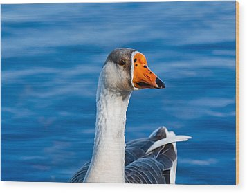 Greater White-fronted Goose Looking For A Mate Wood Print