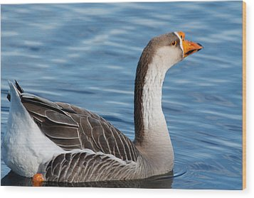 Greater White-fronted Goose Paddling Away Wood Print by Ann Murphy