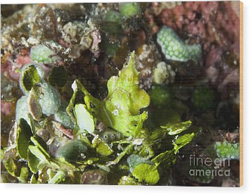Green Arrowhead Crab, Papua New Guinea Wood Print by Steve Jones