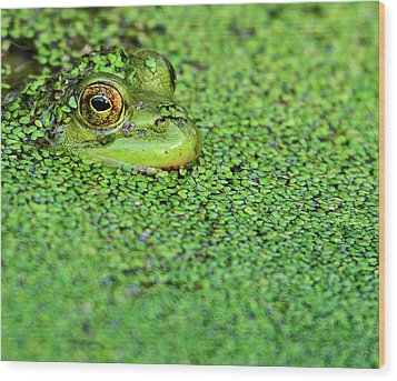 Green Bullfrog In Pond Wood Print by Patti White Photography