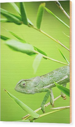 Green Chameleon In Mozambique Wood Print by Alex Bramwell