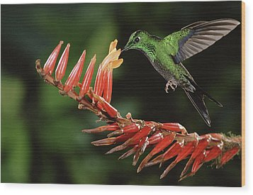Green-crowned Brilliant Heliodoxa Wood Print by Michael & Patricia Fogden