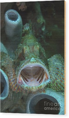 Green Grouper With Open Mouth, North Wood Print by Mathieu Meur
