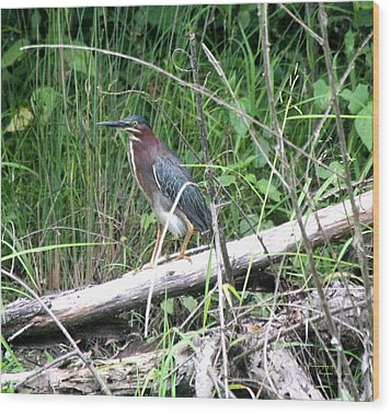 Green Heron 2790 Wood Print by Suzanne  McClain