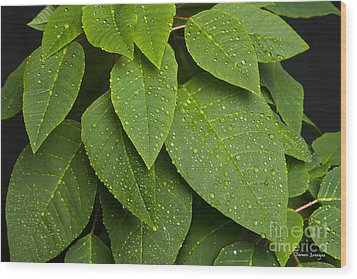 Green Leaves And Water Drops Wood Print by James BO  Insogna