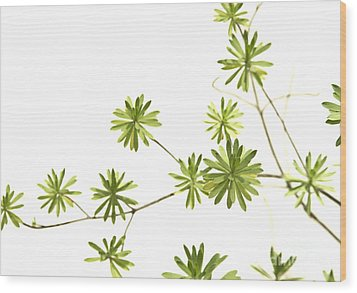 Green Plant Wood Print by Blink Images