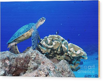 Green Sea Turtle Wood Print by Andrew G Wood and Photo Researchers