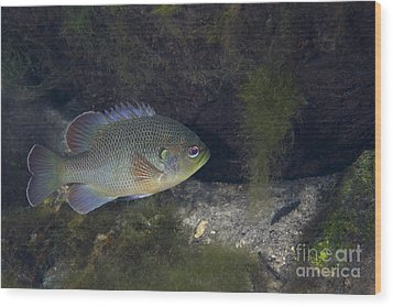 Green Sunfish Swimming Along The Rocky Wood Print by Michael Wood