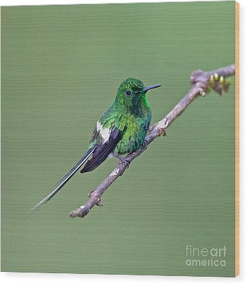 Green Thorntail Wood Print by Jean-Luc Baron