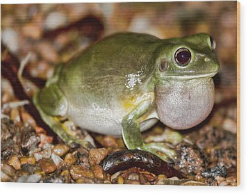 Green Tree Frog Wood Print by Douglas Barnard