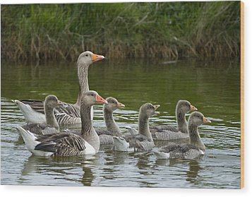 Greylag Goose Anser Anser Couple Wood Print by Willi Rolfes
