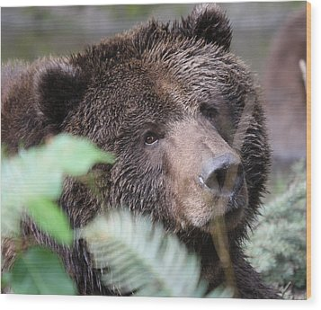 Grizzley - 0005 Wood Print by S and S Photo