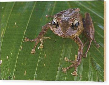 Ground Frog Nakanai Mts Papua New Guinea Wood Print by Piotr Naskrecki