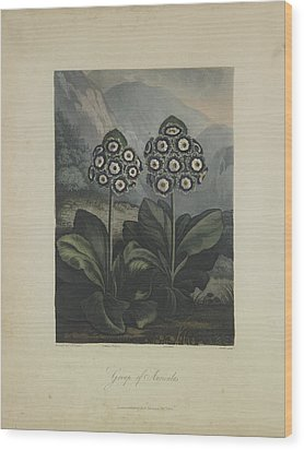 Group Of Auricula Wood Print by Robert John Thornton