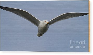 Gull In Flight . 7d12082 Wood Print by Wingsdomain Art and Photography