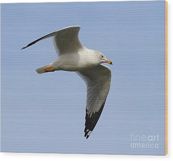 Gull In Flight . 7d12084 Wood Print by Wingsdomain Art and Photography