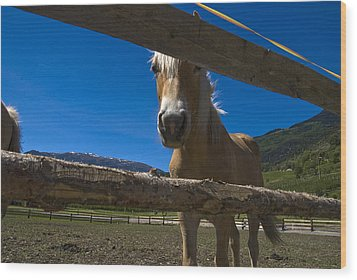 Haflinger Horse Looks Through A Fence Wood Print by Todd Gipstein