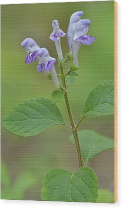 Wood Print featuring the photograph Hairy Skullcap by JD Grimes