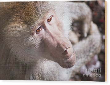 Hamadryas Baboon Wood Print by Andrew  Michael