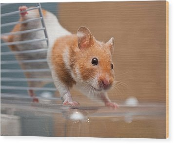Hamster Wood Print by Tom Gowanlock