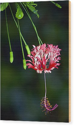 Hanging Coral Hibiscus Wood Print by Lehua Pekelo-Stearns