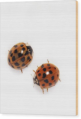 Harlequin Ladybirds Wood Print by Sheila Terry