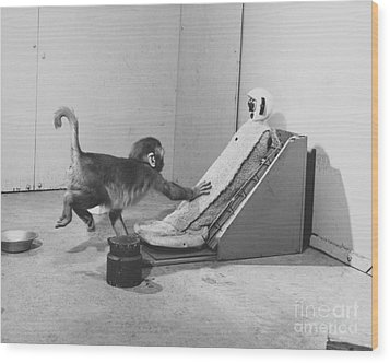 Harlow Monkey Experiment Wood Print by Science Source