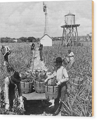 Harvesting Indian River Pineapples - C 1906 - Florida Wood Print by International  Images