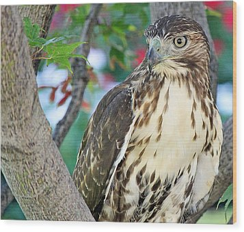 Hawk In Tree 3 Wood Print by Becky Lodes