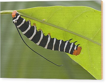 Hawk Moth Caterpillar Guyana Wood Print by Piotr Naskrecki