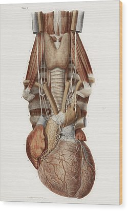 Heart And Neck, Historical Illustration Wood Print by